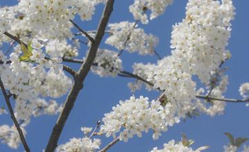 Blüten der Vogelkirsche