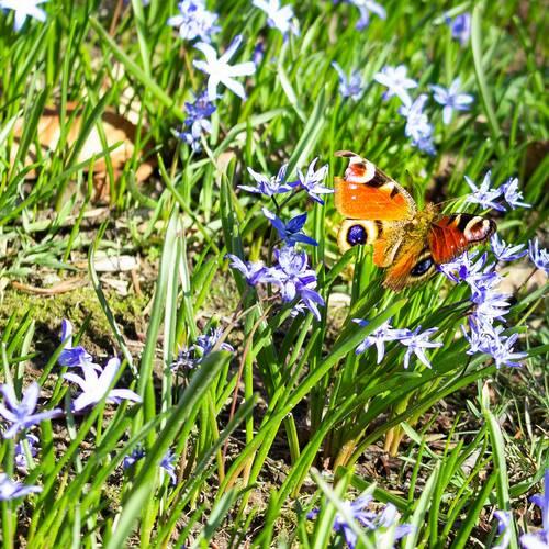 Schmetterling&Blausterne