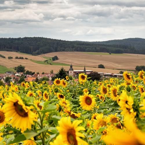Sonnenblumenfeld über Marksuhl